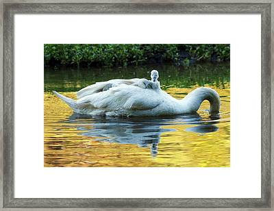 Mute Swan And Cygnets Framed Print by Alex Hyde