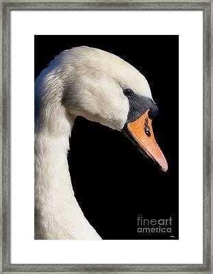 Mute Swan Framed Print by Wobblymol Davis