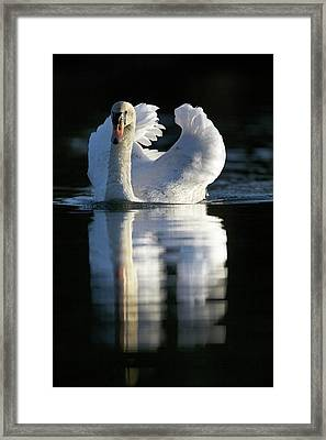 Mute Swan On Water Framed Print by Simon Booth