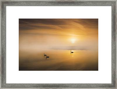 Mute Swans At Dawn Framed Print by Adrian Campfield
