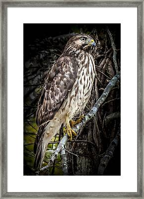 My Hawk Encounter Framed Print by Karen Wiles