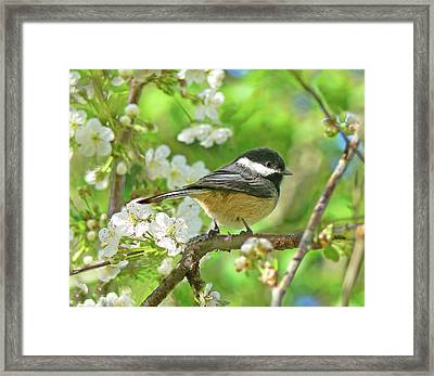 My Little Chickadee In The Cherry Tree Framed Print by Jennie Marie Schell
