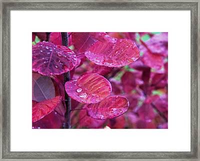 My Smokebush Framed Print by Kathy Bassett