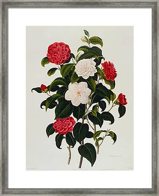 Myrtle Leaved Camellia Framed Print by Clara Maria Pope