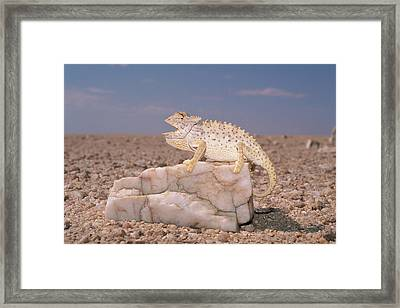 Namaqua Chameleon In The Namib Desert Framed Print by Michael and Patricia Fogden
