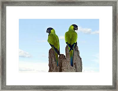Nanday Conures Framed Print by Anita Studer