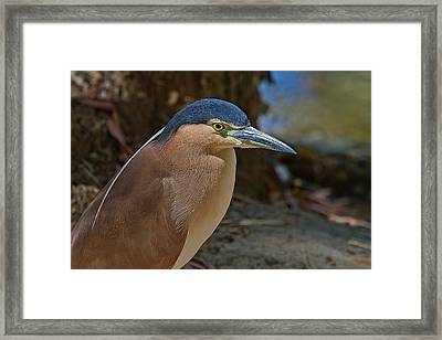 Nankeen Or Rufous Night Heron Framed Print by Mr Bennett Kent