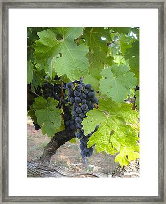 Napa Valley Vineyard Grapes Framed Print by Jennifer Lamanca Kaufman