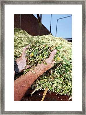 Napier Grass Biofuel Research Framed Print by Peggy Greb/us Department Of Agriculture