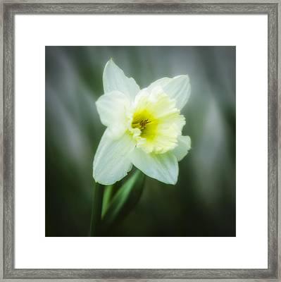 Narcissus Pseudonarcissus Framed Print by Erik Brede