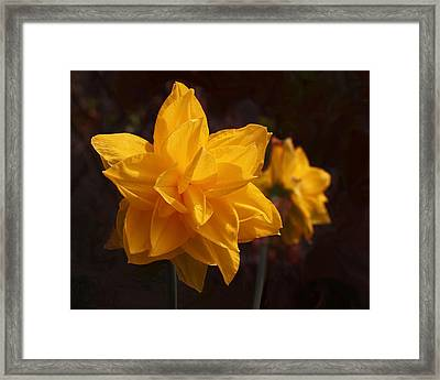 Narcissus Sweet Sue In Full Bloom Framed Print by Rona Black