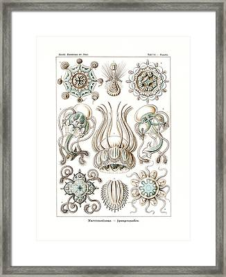 Narcomedusae Framed Print by Ernst Haeckel