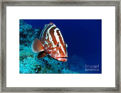 Nassau Grouper Framed Print by Carey Chen