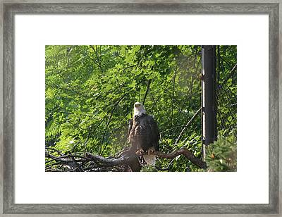 National Zoo - Bald Eagle - 12122 Framed Print by DC Photographer