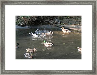 National Zoo - Duck - 12125 Framed Print by DC Photographer