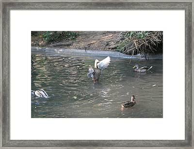 National Zoo - Duck - 12128 Framed Print by DC Photographer