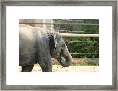National Zoo - Elephant - 121212 Framed Print by DC Photographer