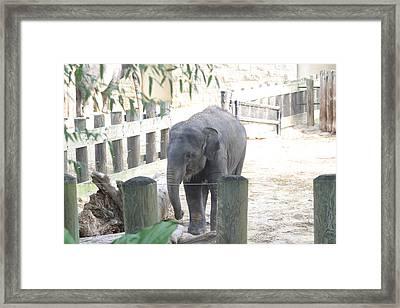 National Zoo - Elephant - 12123 Framed Print by DC Photographer