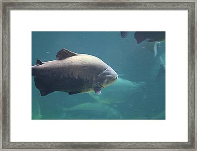 National Zoo - Fish - 011320 Framed Print by DC Photographer