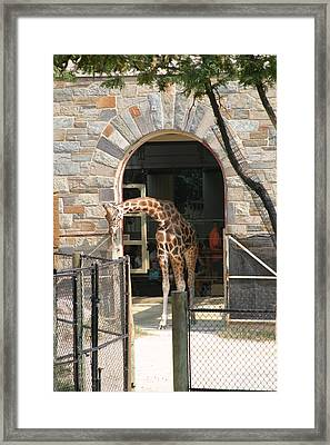 National Zoo - Giraffe - 12123 Framed Print by DC Photographer