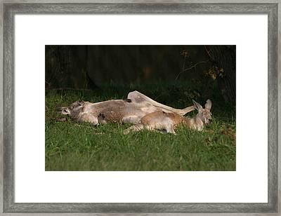 National Zoo - Kangaroo - 12122 Framed Print by DC Photographer