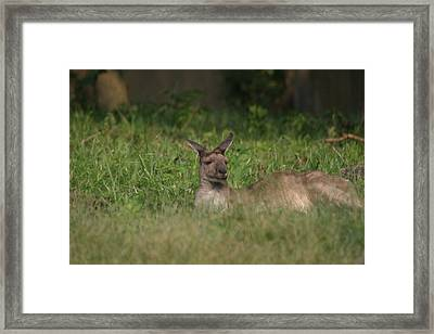 National Zoo - Kangaroo - 12125 Framed Print by DC Photographer