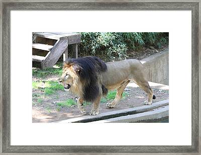 National Zoo - Lion - 011311 Framed Print by DC Photographer
