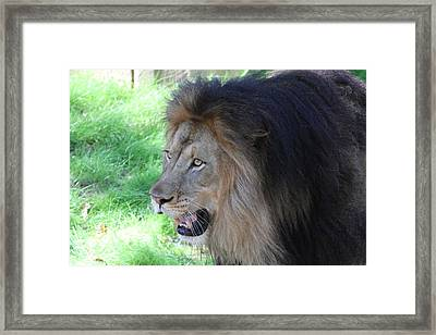 National Zoo - Lion - 011312 Framed Print by DC Photographer