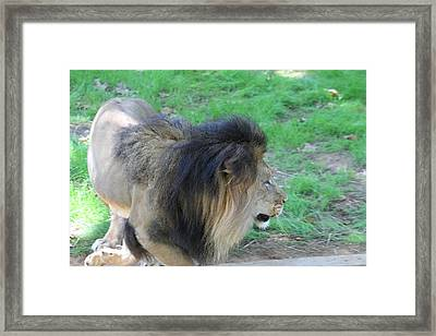 National Zoo - Lion - 01133 Framed Print by DC Photographer