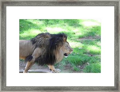 National Zoo - Lion - 01135 Framed Print by DC Photographer