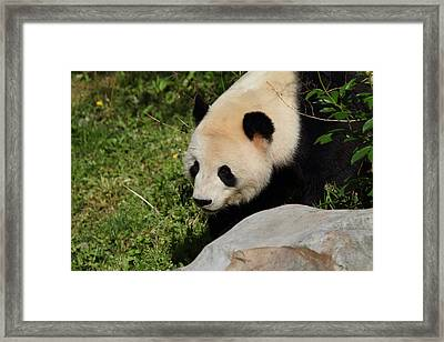 National Zoo - Panda - 011312 Framed Print by DC Photographer