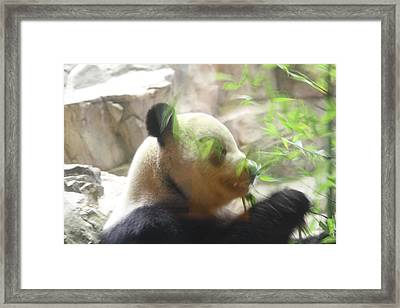 National Zoo - Panda - 01134 Framed Print by DC Photographer