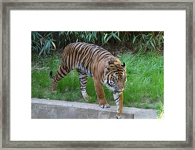 National Zoo - Tiger - 011316 Framed Print by DC Photographer