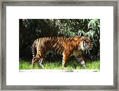 National Zoo - Tiger - 01138 Framed Print by DC Photographer