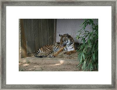 National Zoo - Tiger - 12122 Framed Print by DC Photographer