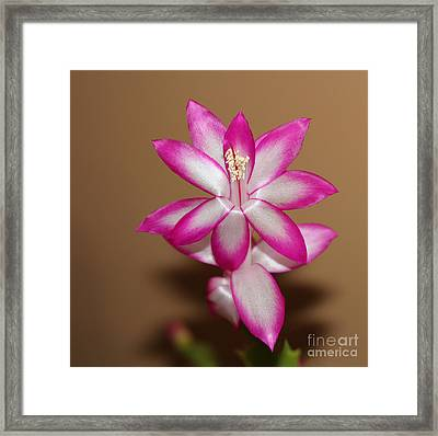 Natural Pink Christmas Cactus Framed Print by Michael Waters