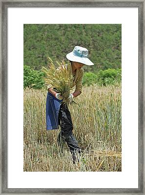 Naxi Minority Woman Harvesting Wheat Framed Print by Tony Camacho