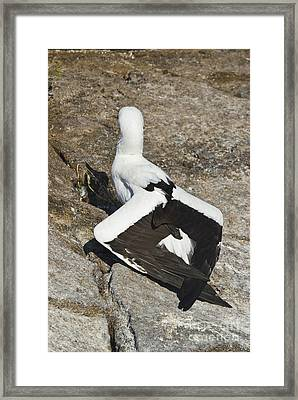Nazca Booby Thermoregulating Framed Print by William H. Mullins