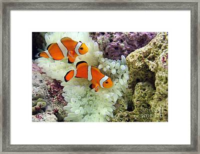 Nemo Framed Print by Carey Chen