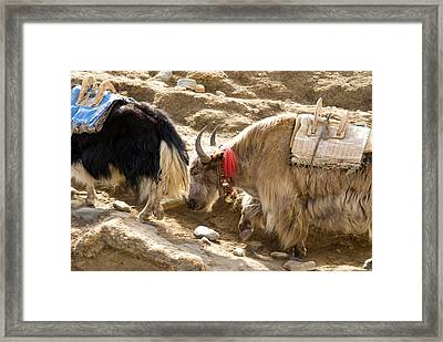 Nepal Yak Move Along The Everest Base Framed Print by David Noyes