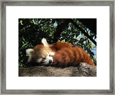 Nepalese Red Panda Framed Print by Margaret Saheed