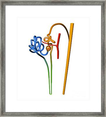 Nephron Structure, Artwork Framed Print by Russell Kightley