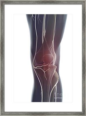 Nerves Of The Knee Framed Print by Science Picture Co