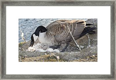 Nester Framed Print by Bill Pevlor