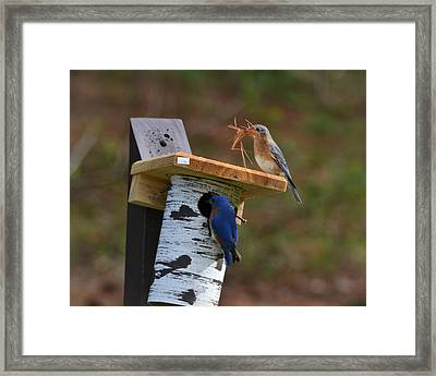 Nesting Bluebirds Framed Print by Mary Zeman