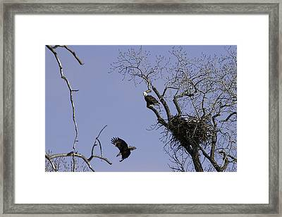 Nesting Pair Of American Bald Eagles 2 Framed Print by Thomas Young