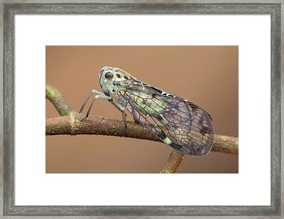 Net-winged Planthopper Framed Print by Melvyn Yeo