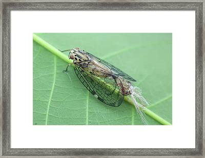 Net-winged Planthopper Moulting Framed Print by Melvyn Yeo