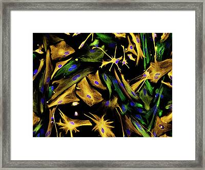 Neural Progenitor Cell Differentiation Framed Print by Carol N. Ibe And Eugene O. Major/national Institutes Of Health