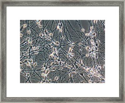 Neurons From Stem Cells Framed Print by Thierry Berrod, Mona Lisa Production